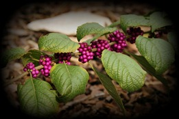 Purple berries ... I should know what they are?